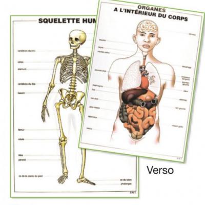 Placas Didácticas do esqueleto - os órgãos
