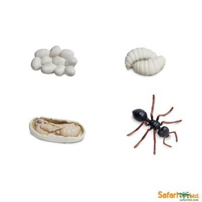 Ciclo de Vida - Formiga