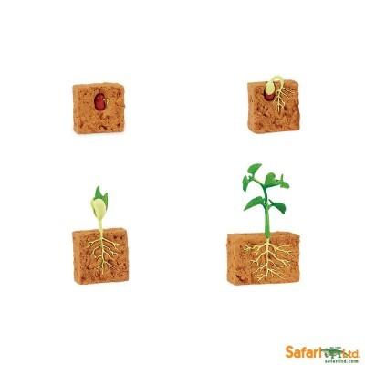 Ciclo de Vida - Planta de Feijão Verde