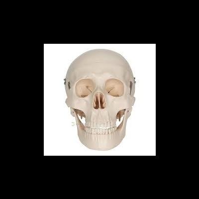 Crânio de Adulto
