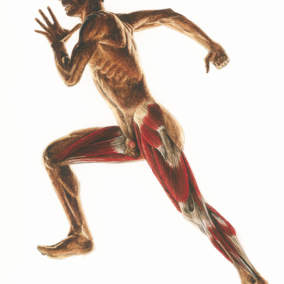 Running anatomy - Left lateral view