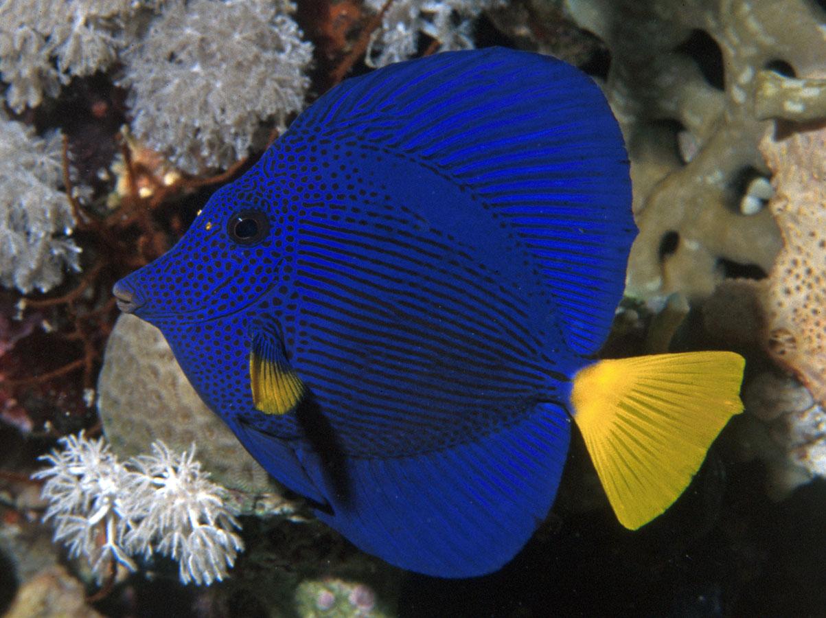 Zebrasoma Xanthurus