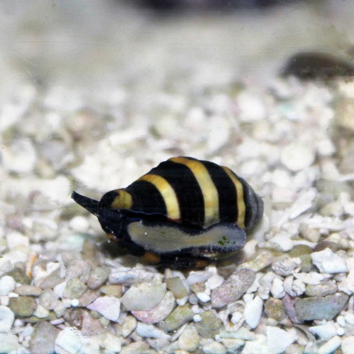 Snail - Bumble Bee