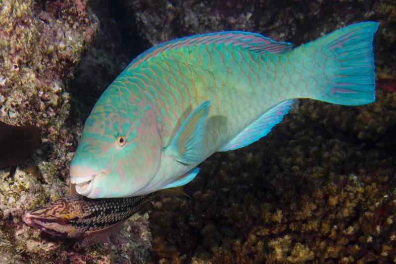 Peixe Papagaio - Quoyi - Scarus Quoyi