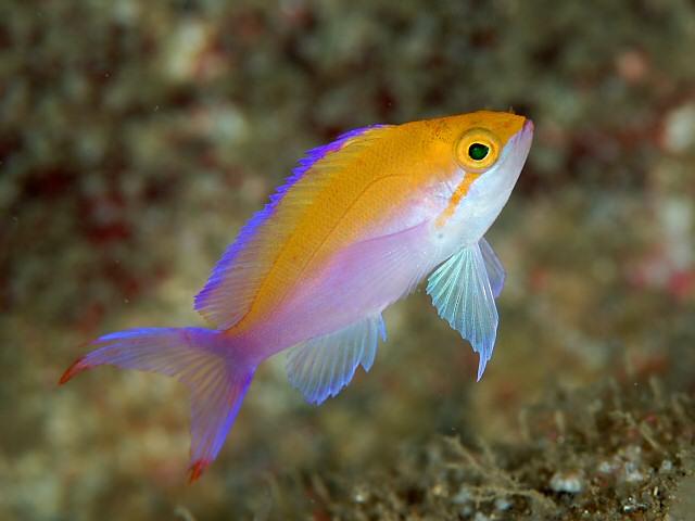 Pseudanthias Bicolor