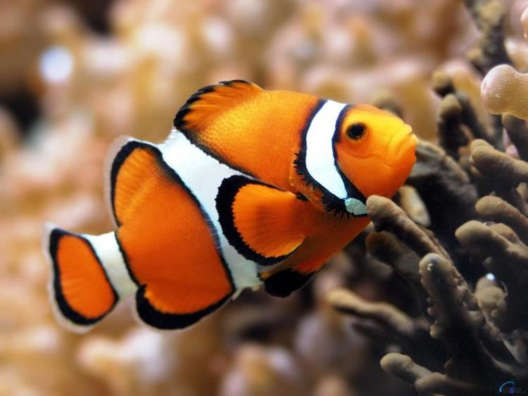 Amphiprion Percula - Picasso - Cativeiro