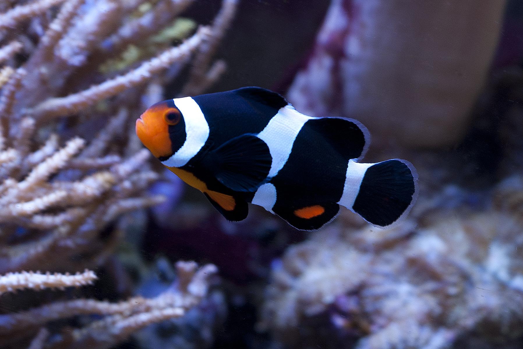 Amphiprion Ocellaris - Percula Clown - Black - Cativeiro