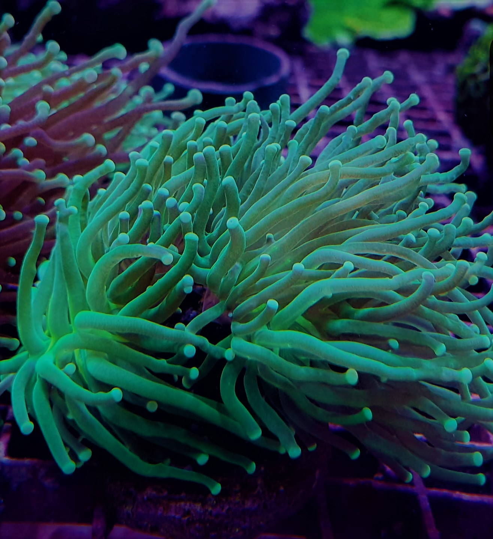 Euphyllia Glabrescens - Green - Ultra