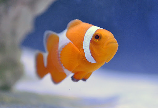 Amphiprion Ocellaris - Bred Clown - Tangerine