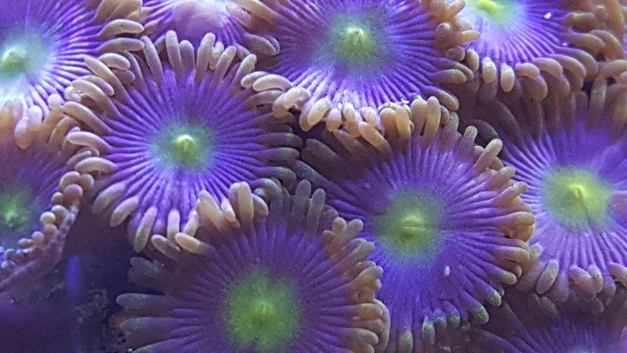 Corais Moles