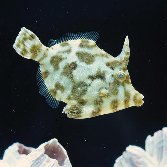 Acreicthys Tomentosus