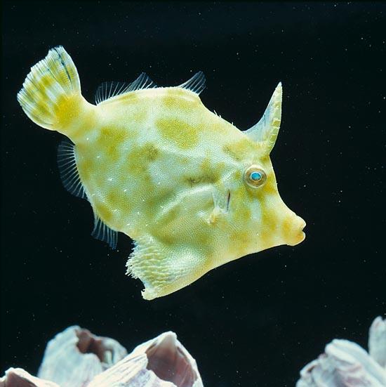 Folha/Filefish
