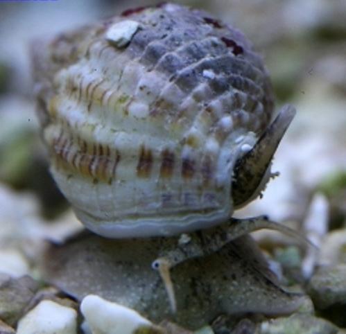 Snail - Nitrus