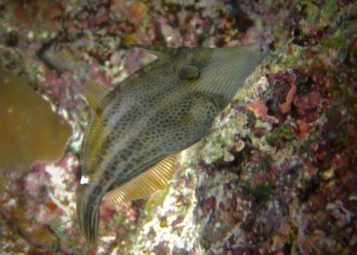 Cantherhinus Pardalis