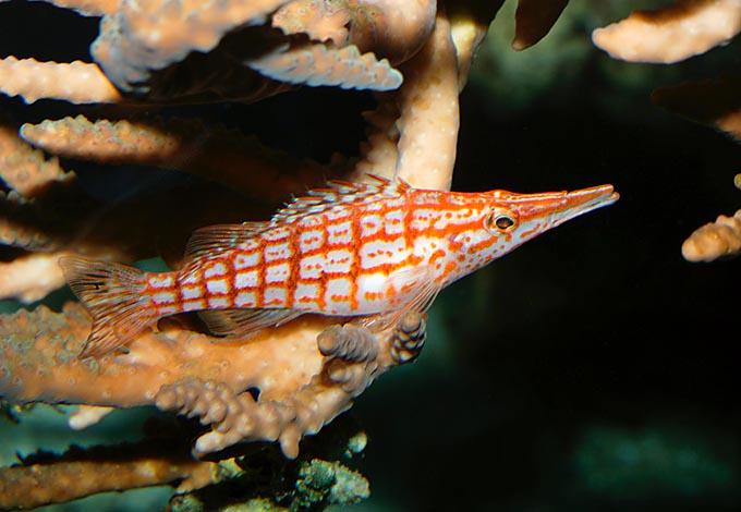 Oxycirrhitus Typus